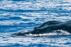 驼背鲸顶头过来 免版税库存照片