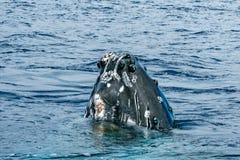 驼背鲸顶头过来 库存图片