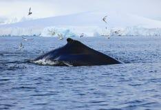 驼背鲸,南极洲 免版税库存照片