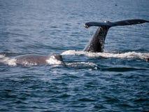 驼背鲸结束遭遇 库存照片