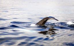 驼背鲸 免版税图库摄影