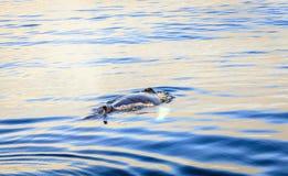驼背鲸 免版税库存照片