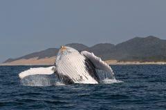 驼背鲸 库存照片