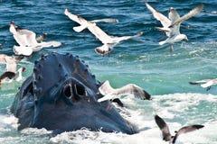 驼背鲸(Megaptera novaeangliae) 免版税库存图片