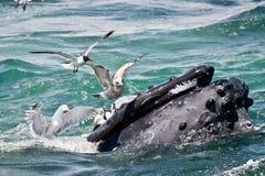 驼背鲸(Megaptera novaeangliae) 免版税图库摄影