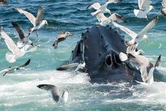 驼背megaptera novaeangliae鲸鱼 图库摄影
