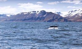 驼背s尾标鲸鱼 免版税库存照片