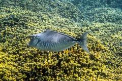 驼背Unicornfish 免版税库存图片