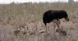 驼鸟、非洲鸵鸟类走通过大草原,内罗毕国家公园的骆驼属、男性和小鸡在肯尼亚, 影视素材