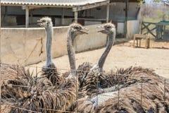 驼鸟农厂库拉索岛景色 库存照片