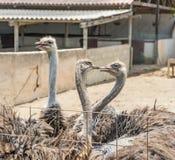 驼鸟农厂库拉索岛景色 免版税图库摄影