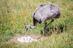 驼鸟农场守卫他的鸡蛋 图库摄影