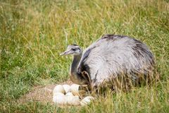 驼鸟农场守卫他的鸡蛋 库存图片