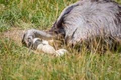 驼鸟农场守卫他的鸡蛋 免版税库存图片