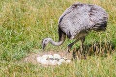 驼鸟农场守卫他的鸡蛋 免版税库存照片