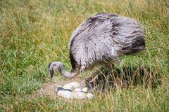 驼鸟农场守卫他的鸡蛋 免版税图库摄影