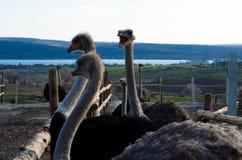 驼鸟农场 免版税图库摄影