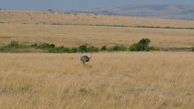 驼鸟去并且寻找在非洲大草原的食物 股票视频