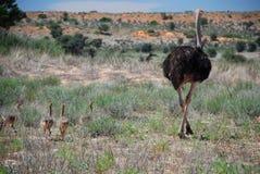 驼鸟和家庭 Kgalagadi境外公园 北开普省,南非 图库摄影