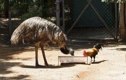 驼鸟和雄鸡 库存照片