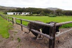 驼鸟在农场,开普敦,南非 库存图片