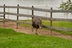 驼鸟在农场 免版税图库摄影