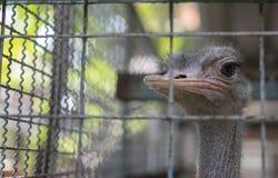 驼鸟在动物笼子中 库存图片