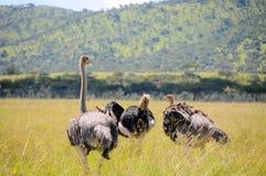 驼鸟在坦桑尼亚国家公园 库存照片