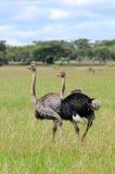 驼鸟在坦桑尼亚国家公园 免版税库存照片