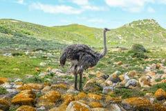 驼鸟在好望角 免版税图库摄影