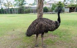 驼鸟在布里斯班,昆士兰,澳大利亚 免版税图库摄影