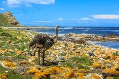 驼鸟在开普敦半岛 免版税图库摄影