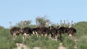 驼鸟在自然生态环境 股票视频