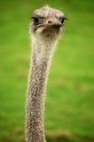 驼鸟在Fota野生生物公园 库存照片