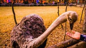 驼鸟在nami海岛汉城韩国 图库摄影
