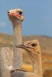 驼鸟夫妇女性和男性 免版税库存图片