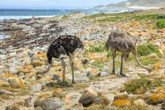驼鸟夫妇 免版税库存照片