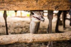 驼鸟头,关闭 免版税库存照片