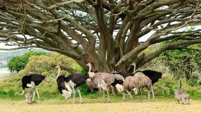 驼鸟家庭-非洲鸵鸟类骆驼属 免版税库存照片
