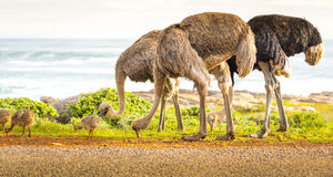 驼鸟家庭 库存照片