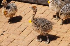驼鸟小鸡在开普敦,南非 免版税库存图片