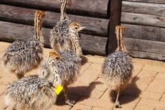 驼鸟小鸡在开普敦,南非 免版税图库摄影