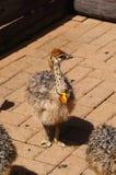 驼鸟小鸡在开普敦,南非 库存图片