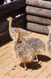 驼鸟小鸡在开普敦,南非 库存照片
