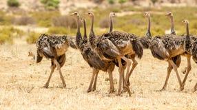 驼鸟小组 免版税库存图片