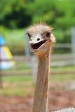 驼鸟微笑 免版税图库摄影