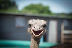 驼鸟微笑 库存图片