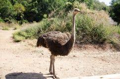 驼鸟或共同的驼鸟或者非洲鸵鸟类骆驼属在农场放松在 免版税库存图片
