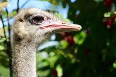 驼鸟或共同的驼鸟眼睛 免版税库存照片