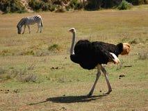 驼鸟斑马 免版税库存图片